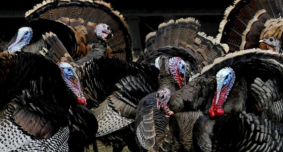 Several tom turkeys ruffle their feathers and fan their tails to attract the attention of hens gathered near a home in Coeur d'Alene, Idaho on Wednesday, April 3, 2013.   KATHY PLONKA kathypl@spokesman.com  (AP Photo/The Spokesman-Review, )  COEUR D'ALENE PRESS OUT Photo: Kathy Plonka, Associated Press