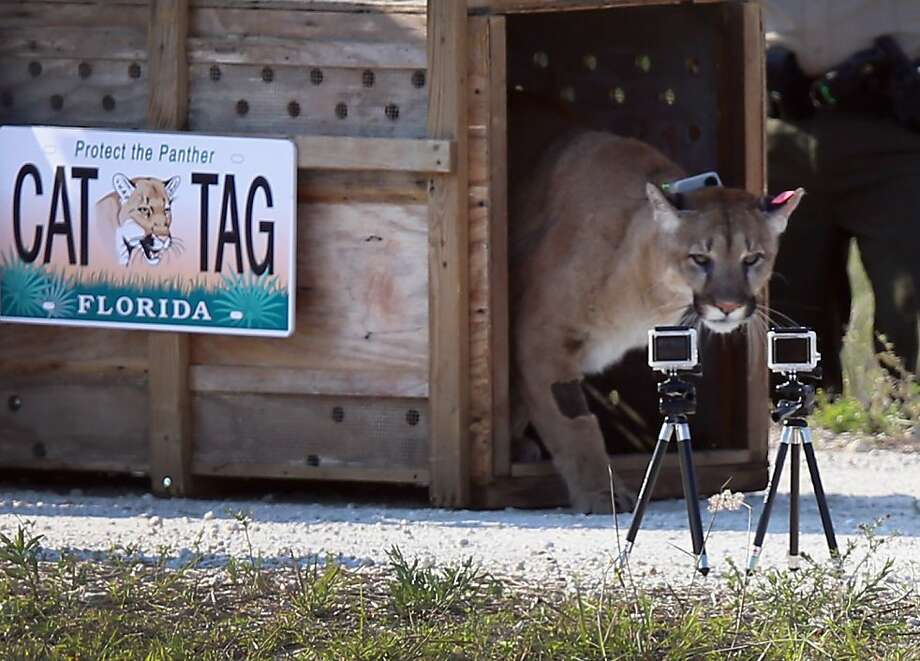 WEST PALM BEACH, FL - APRIL 03:  A 2-year-old Florida panther is released into the wild by the Florida Fish and Wildlife Conservation Commission (FWC) on April 3, 2013 in West Palm Beach, Florida.  The panther and its sister had been raised at the White Oak Conservation Center since they were 5 months old. The FWC rescued the two panthers as kittens in September 2011 in northern Collier County after their mother was found dead. The panther is healthy and has grown to a size that should prepare him for life in the wild.  (Photo by Joe Raedle/Getty Images) Photo: Joe Raedle, Getty Images
