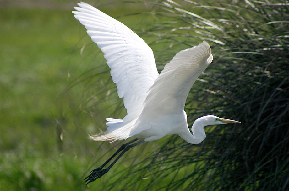 An egret takes flight at Audubon Canyon Ranch\'s Martin Griffin Preserve.
