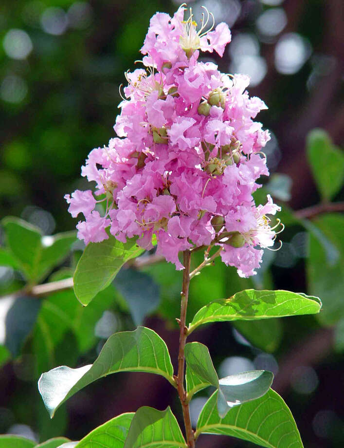 State ShrubCrape Myrtle, House Concurrent Resolution No.14, 75th Legislature, Regular Session (1997) Photo: TRACY HOBSON LEHMANN, File Photo / SAN ANTONIO EXPRESS-NEWS