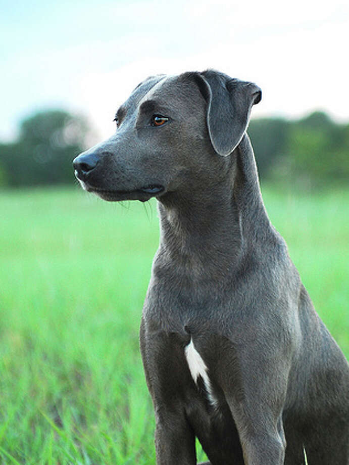 State DogBlue Lacy, 