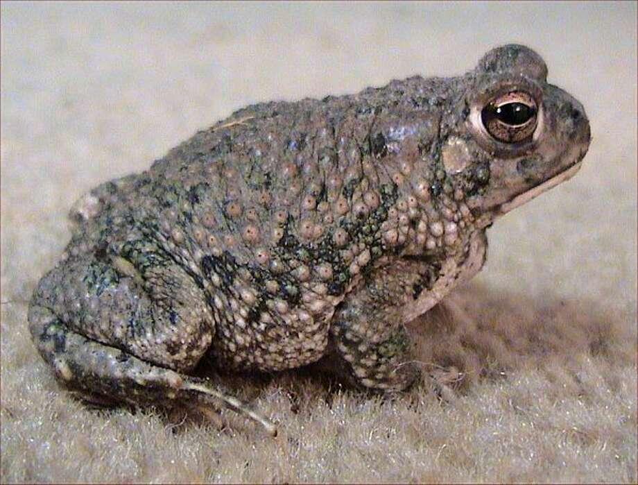 State AmphibianTexas Toad,   House Concurrent Resolution No. 18, 81st Legislature, Regular Session (2009) Photo: File Photo