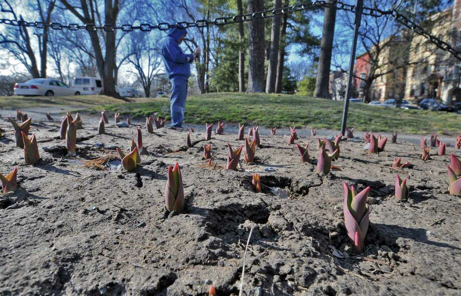 Life springs forth from the ground from bulbs in the soil, in a flower bed along Henry Johnson Boulevard at the entrance to Washington Park on Tuesday March 6, 2012 in Colonie, N.Y.  (Philip Kamrass / Times Union ) Photo: Philip Kamrass