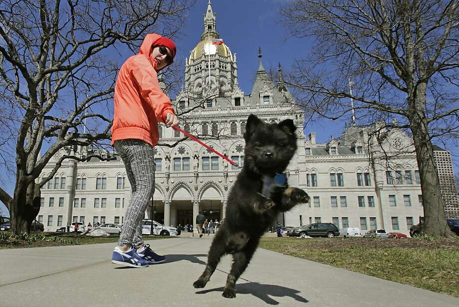 A Connecticut yank: Geordi gets distracted during his walk with Meghan Christopher at the Capitol in Hartford. Photo: Charles Krupa, Associated Press