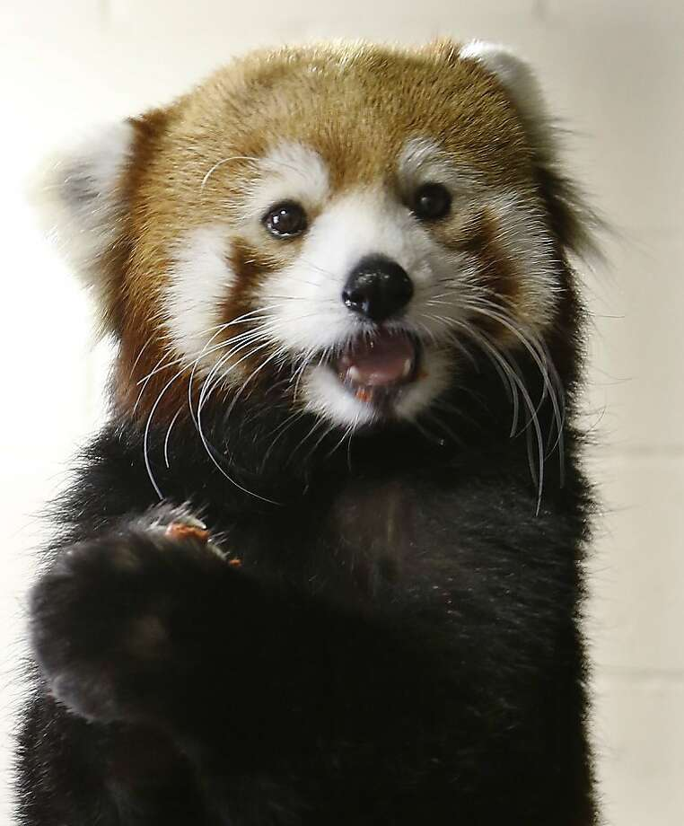 Hey, this vegan cookie is actually pretty good! The new red panda at the Pittsburgh Zoo munches on a snack from its keeper. Photo: Keith Srakocic, Associated Press