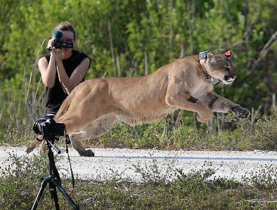 West Palm Beach is now panther territory: An orphaned Florida panther, now 2 years old, is released into the wild by the Florida Fish and Wildlife Conservation Commission in West Palm Beach. The cat and his sister had been raised at the White Oak Conservation Center since their mother was found dead when they were 5 months old. Photo: Joe Raedle, Getty Images