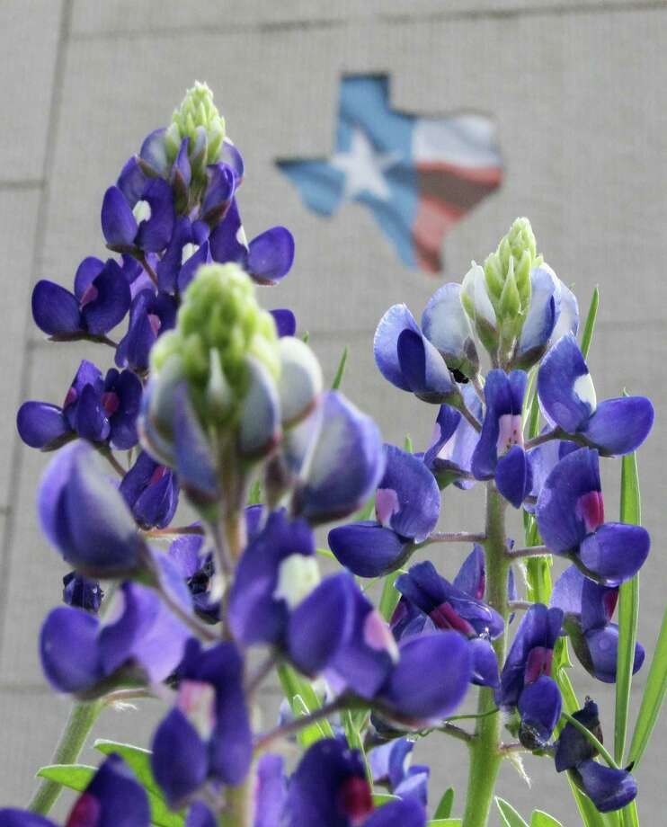 Texas bluebonnets soak up late morning light on the first day of spring on Wednesday, March 20, 2013 in Conroe, Texas.  (AP Photo/ The Courier, Jason Fochtman) Photo: Jason Fochtman, MBR / Conroe Courier