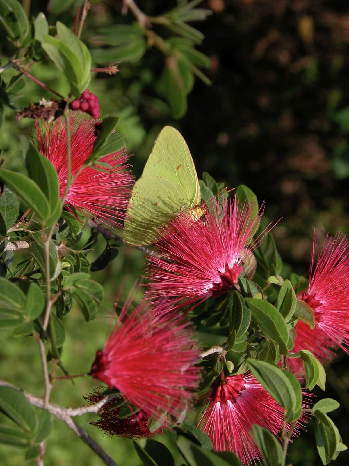 Dwarf calliandra will be available at the butterfly and hummingbird plant sale Saturday at the White Oak Conference Center.