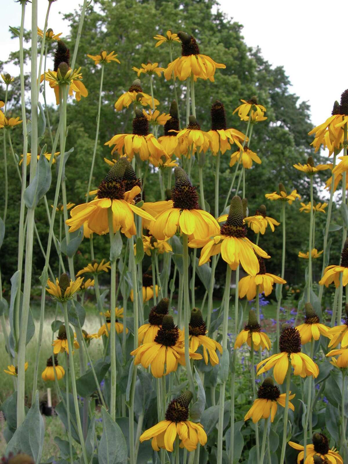 Native Rudbeckia maxima makes a towering statement in the butterfly garden. It will be among the butterfly plants available at the Cockrell Butterfly Center sale Saturday.