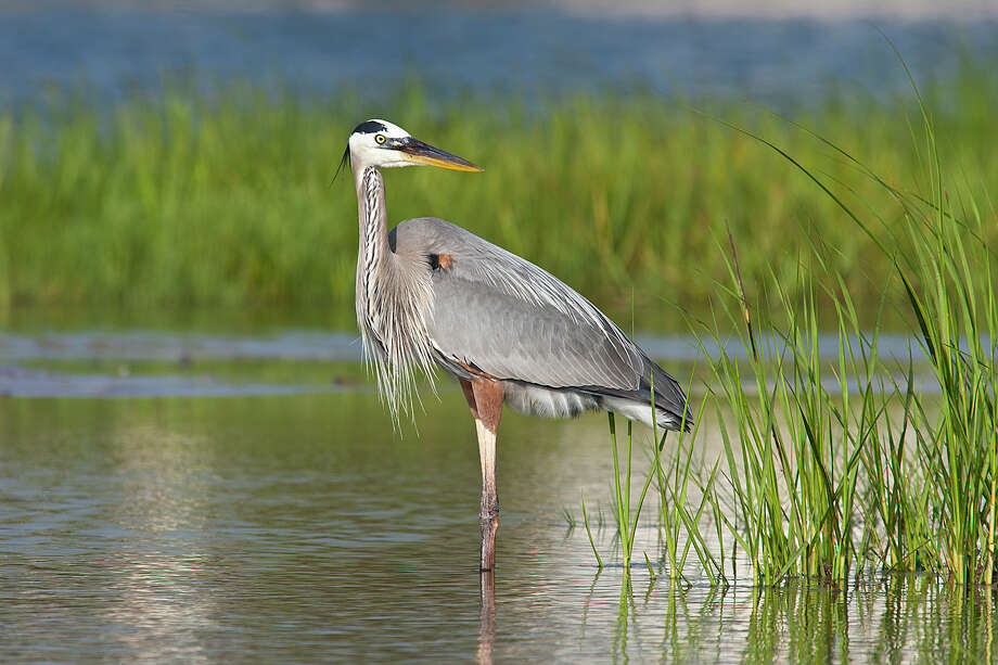 The lagoons and marshy areas of Galveston Island are a great place to look for great blue herons and other wading birds. Photo: Kathy Adams Clark / Kathy Adams Clark/KAC Productions