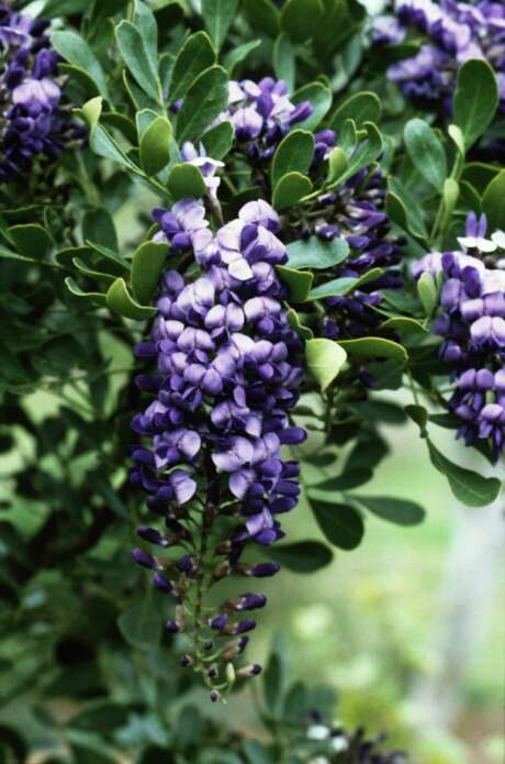 Texas mountain laurel needs full sun and good drainage. / handout slide