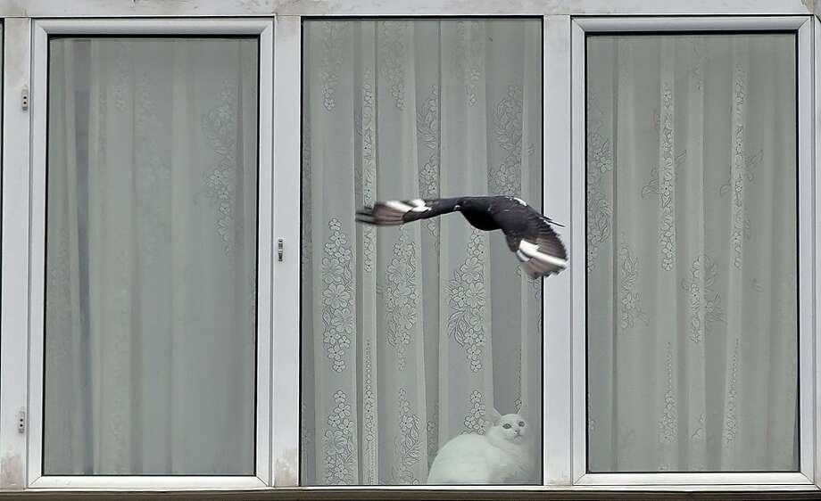 If it weren't for this window … In Bucharest, an indoor cat dreams of outdoor pursuits.  Photo: Vadim Ghirda, Associated Press