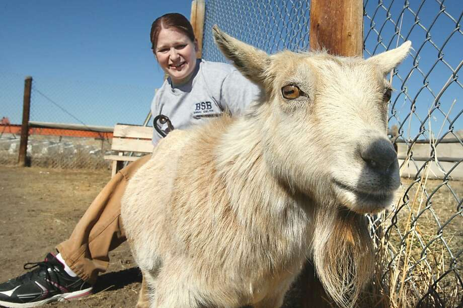 A pygmy goat goes into a bar, and the bartender says, 'Sorry, we don't serve kids here': Shirley, a petting zoo's pygmy goat, did in fact enter a bar in Butte, Mont. - she was taken there by a goat thief. A bar patron called police, and an animal control officer picked up the goat and took her to a shelter. The Fairmont Hot Springs Resort, which runs the petting zoo, hadn't realized that Shirley was missing until they read about the bar incident in the local newspaper. She has since been returned to the zoo. Photo: Walter Hinick, Associated Press