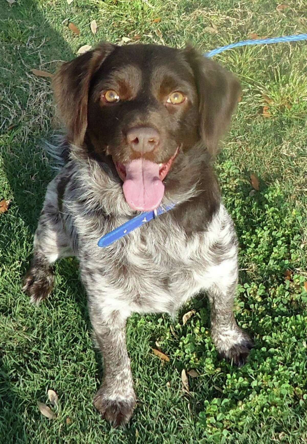 Freddie, a 3.5 year old German Pointer / Brittany Spaniel / Springer Spaniel When Freddie came to CAP he had horrible heartworms and many other medical issues, all of which are way behind him in his rearview mirror. He?'s so healthy now, it?'s like nothing bad ever happened to him.