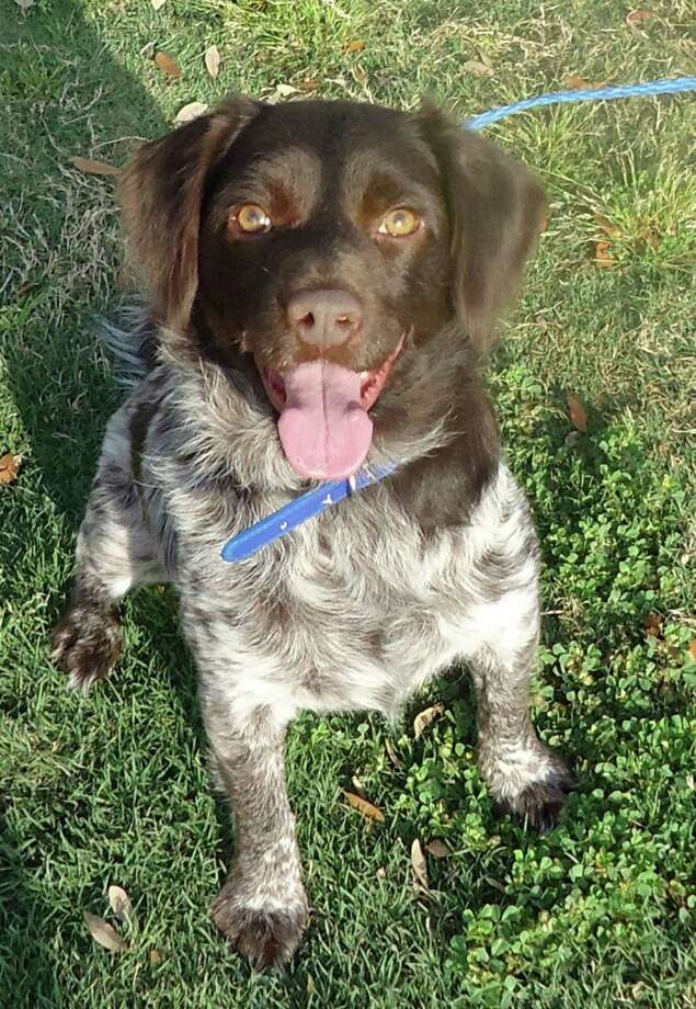 Freddie, a 3.5 year old German Pointer / Brittany Spaniel / Springer Spaniel  When Freddie came to CAP he had horrible heartworms and many other medical issues, all of which are way behind him in his rearview mirror.  He's so healthy now, it's like nothing bad ever happened to him. Photo: --