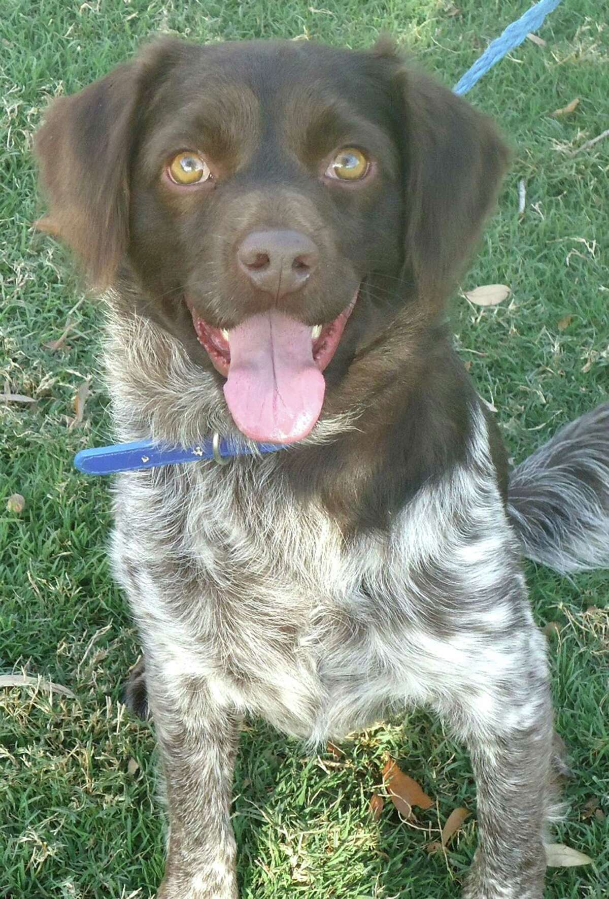 Freddie, a 3.5 year old German Pointer / Brittany Spaniel / Springer Spaniel When Freddie came to CAP he had horrible heartworms and many other medical issues, all of which are way behind him in his rearview mirror. He?s so healthy now, it?s like nothing bad ever happened to him.