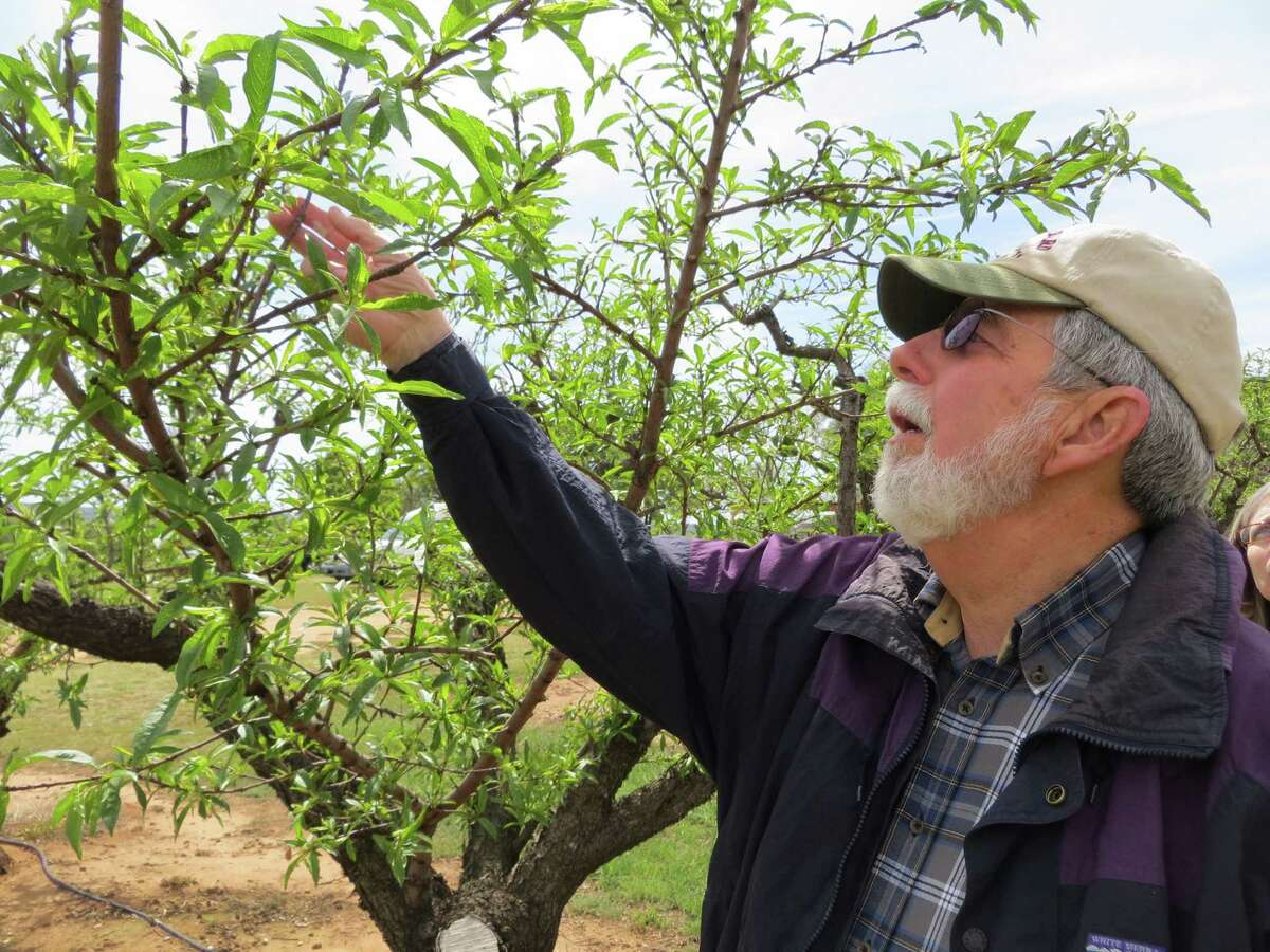 Gary Marburger inspects peach trees at his Gillespie County orchard for signs of damage from the cold snap March 26.