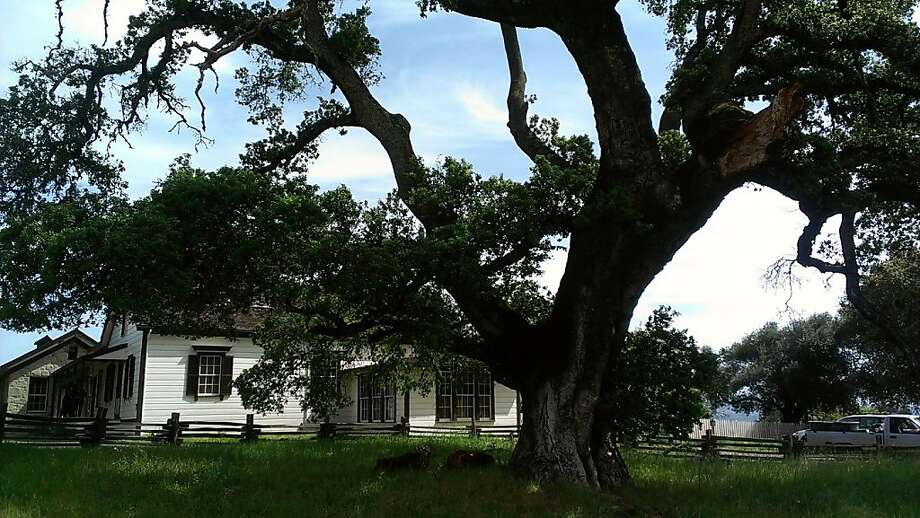 A huge ancient oak tree in Glen Ellen will be cut down to protect Jack London's historic cottage. Photo: Courtesy E. Breck Parkman
