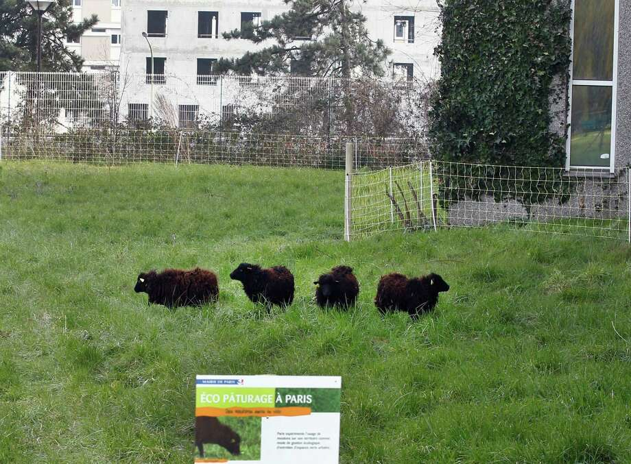 In this photo dated Thursday, April 4, 2013, four sheep graze in a small meadow in a northern district of Paris as part of an eco-experiment to use ecological means to maintain Paris green spaces. Paris is enlisting the help of a small flock of sheep to keep the city's grass trim to replace gas-guzzling lawnmowers. (AP Photo/Remy de la Mauviniere) Photo: Remy De La Mauviniere
