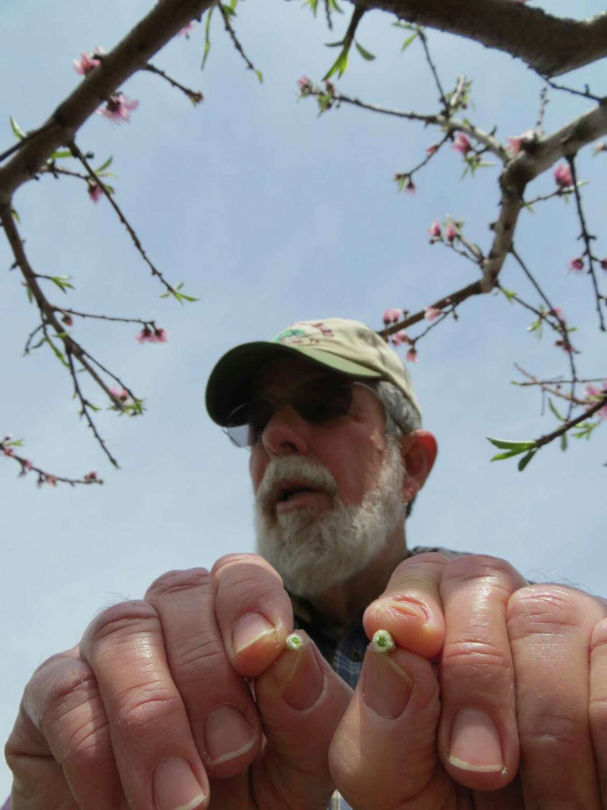 Gary Marburger of Marburger Orchard in Gillespie County displays the ovary of a peach blossom that he broke apart to check for frost damage.