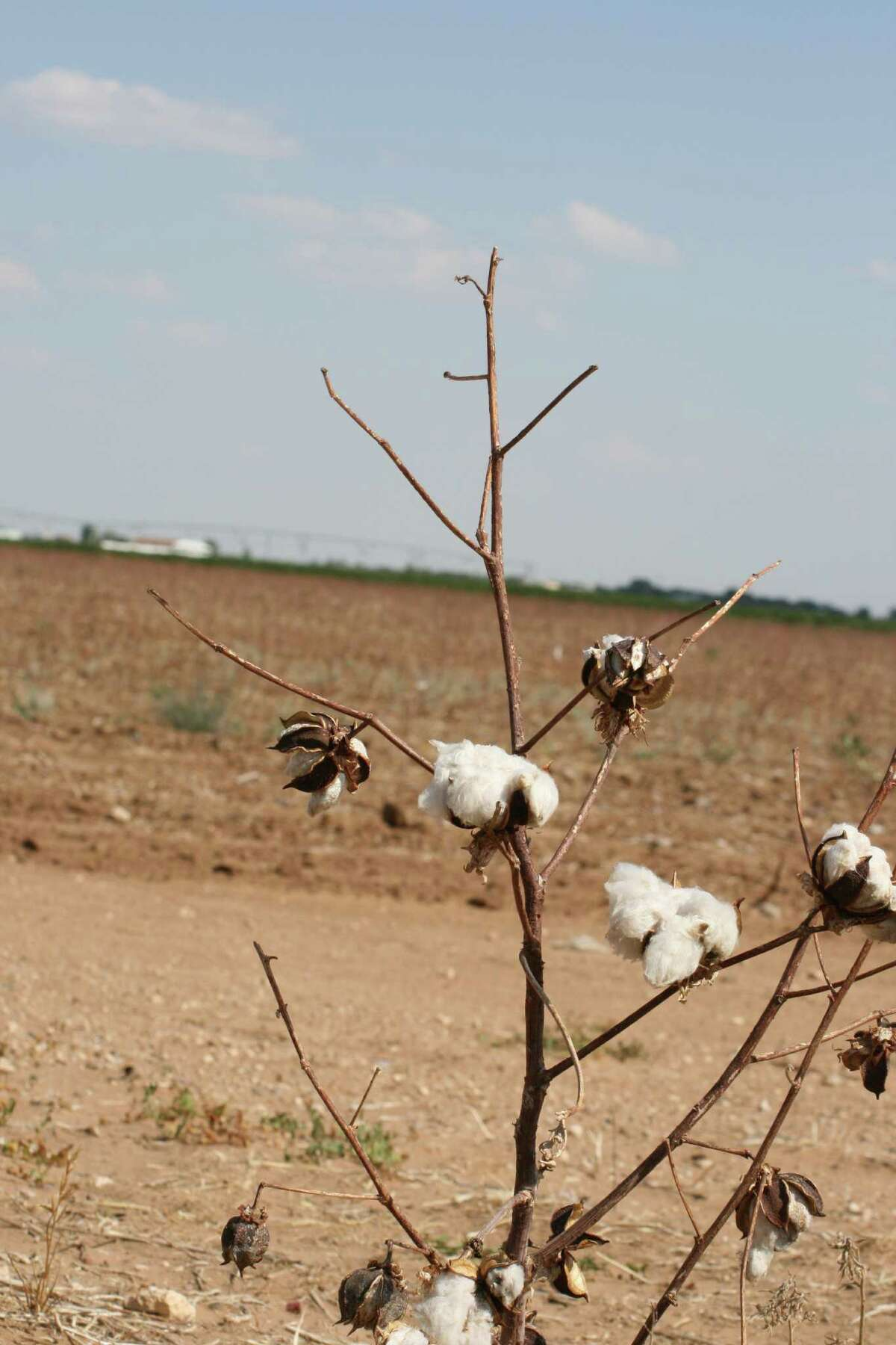 Bobby Nedbalek explains that cotton crop residue in his fields near Sinton is still intact because the ground is too dry to decompose it. Nedbalek lost more than 90 percent of his cotton last year.