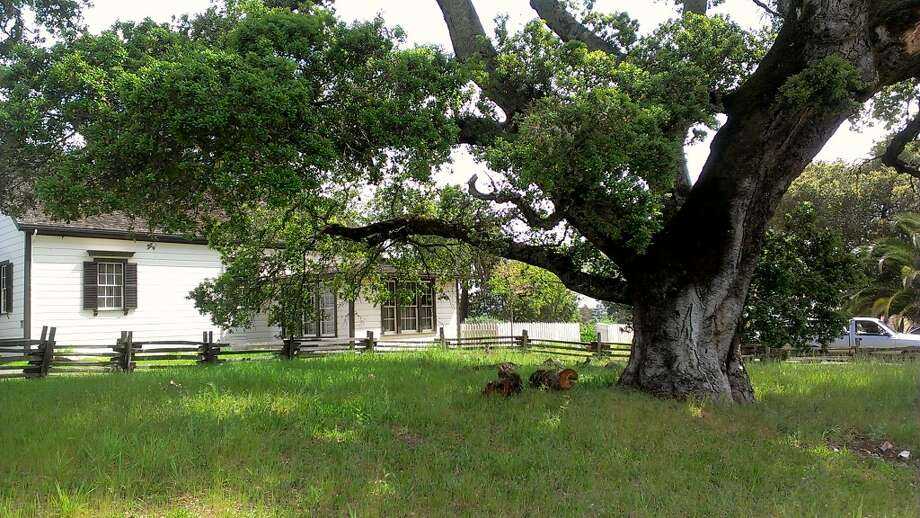 A huge ancient oak tree that Jack London must have admired at Beauty Ranch in Glen Ellen is diseased and will be cut down to protect the famous writerÕs historic London Cottage. The big tree dwarfs the cottage, which is a National Historic Landmark, where Jack London lived and died. Park officials are essentially felling a diseased heritage tree in order to protect a fragile historic landmark and the visiting public. The park plans to celebrate the tree prior to cutting her down, inviting kids, art, poetry, storytelling and music. Photo: Courtesy E. Breck Parkman / ONLINE_CHECK