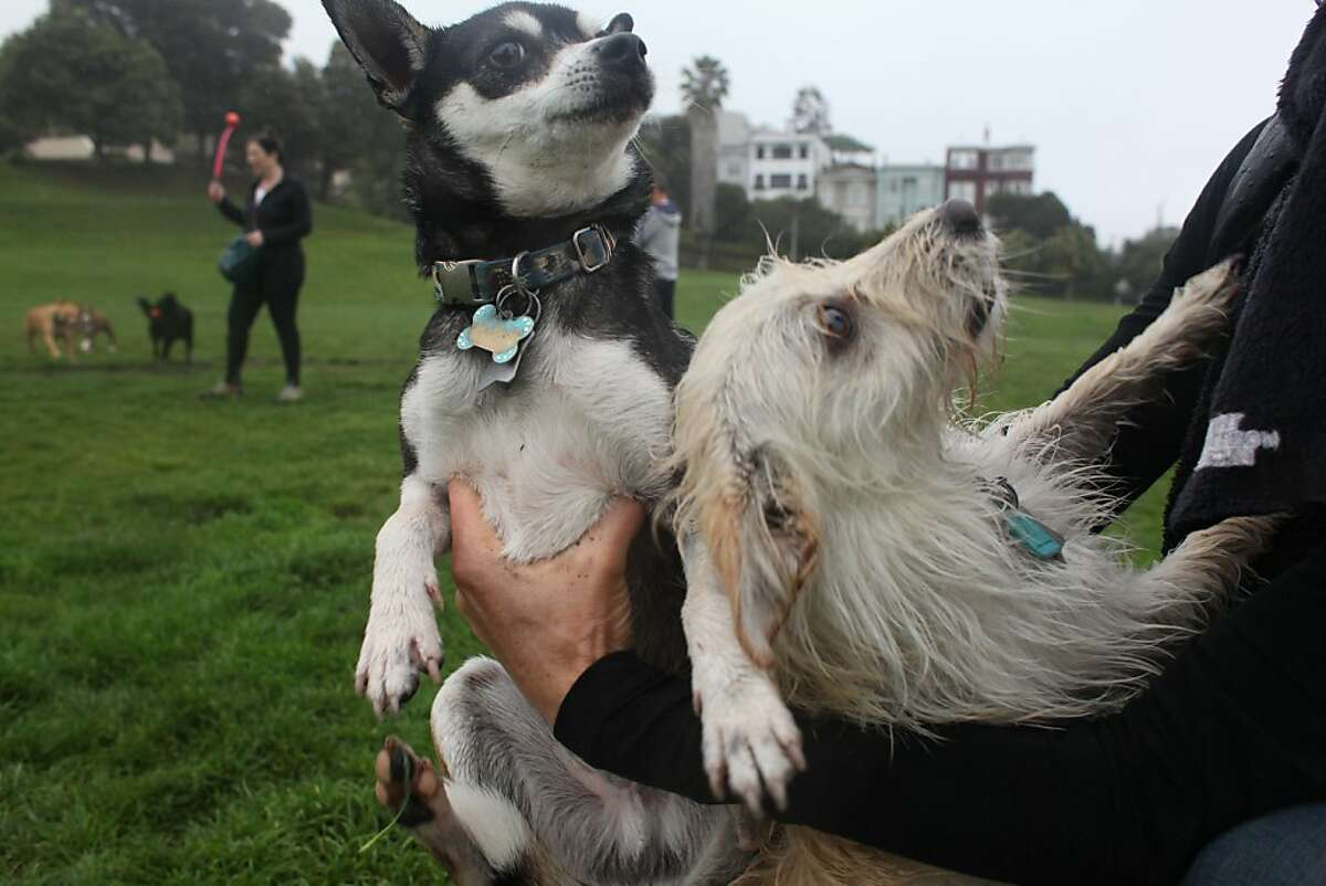 Members of the Dolores Park dogs group, a gathering of dog owners that meet on weekends, congregate with their dogs in the morning at Dolores Park on April 6th 2013. A proposed off-leash dog areas is under scrutiny by the community.