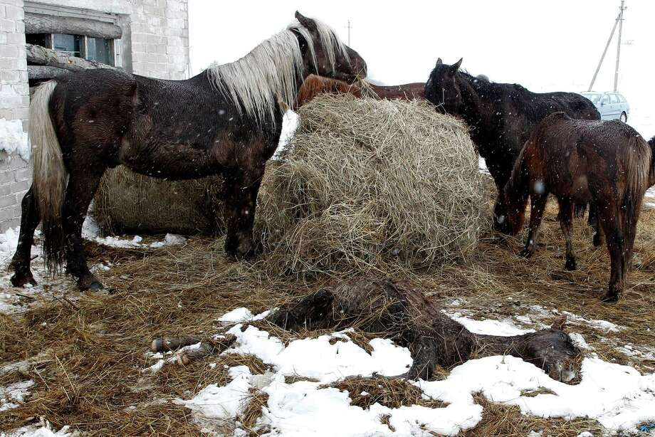 Horses get some fodder brought by rescue workers as a dead animal seen in front at a farm near Vilnius, Lithuania, Friday, April 5, 2013. Veterinarians are working to save the lives of dozens of horses found without adequate food or shelter on a farm near Vilnius, Lithuania's capital. Some 122 horses were kept on farmer Algis Kausakis' property through the long winter without proper food, water and shelter. Kausakis had come under criticism for not keeping the animals in a stable, but he told a Vilnius court last week the horses could take care of themselves and didn't need shelter. Rescue workers said Friday that many of the horses were so hungry they couldn't stand up and that as many as 30 might die. Photo: AP