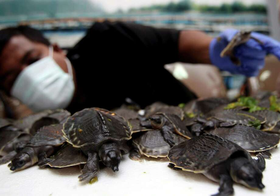 An Indonesian official shows pig-nosed turtles confiscated from a cargo package that was shipped from Papua province, at the quarantine facility of Soekarno-Hatta International Airport on the outskirts of Jakarta, Indonesia, Monday, April 1, 2013. Indonesian authorities confiscated 687 endangered pig-nosed turtles believed to be part illegal pet trade. Photo: AP