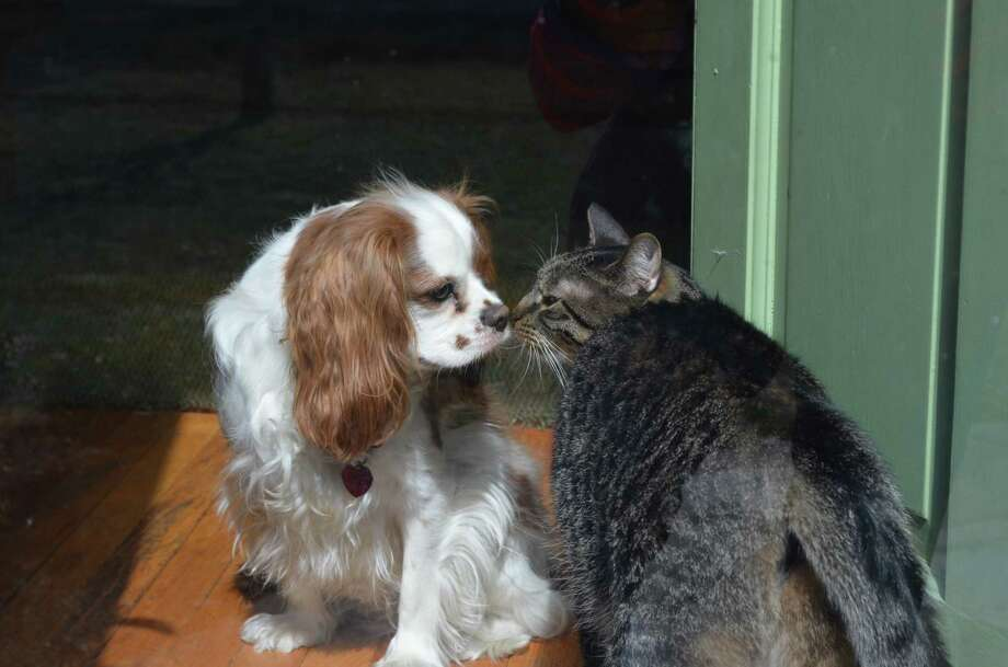 Ike and Dill exchange a quick kiss. Ike is a year-old cavalier and Dill is an 8-year-old rescued tiger cat who live with Craig, Julie, Oliver and Avery Miller in Delmar. (Julia Miller)