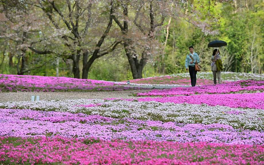 "A couple walks through moss phlox at a garden in Tatebayashi, Gunma prefecture, about 80 kms north of Tokyo on April 7, 2013. Over 400,000 blossoming moss phlox are expected to attract many visitors until the upcoming Japanese ""Golden Week"" holiday season in late April and early May.       AFP PHOTO / KAZUHIRO NOGIKAZUHIRO NOGI/AFP/Getty Images Photo: Kazuhiro Nogi, AFP/Getty Images"
