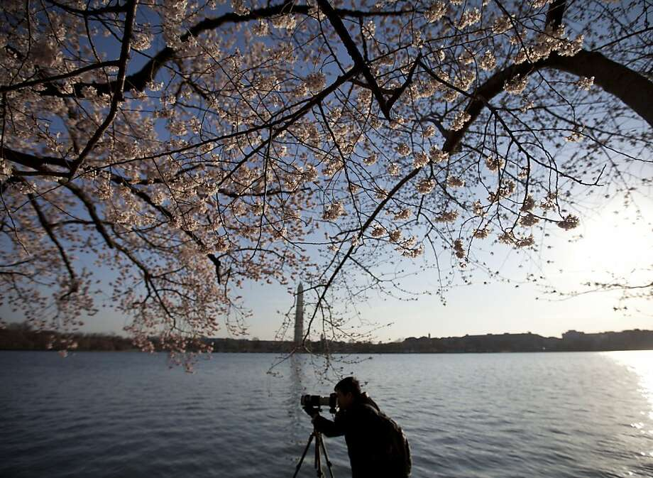 A photographer works as cherry blossoms begin to open on the branches of the famous Yoshino cherry trees along the Tidal Basin, early Sunday, April 7, 2013, in Washington. Peak blossom time has been postponed by chilly weather. (AP Photo/Carolyn Kaster) Photo: Carolyn Kaster, Associated Press