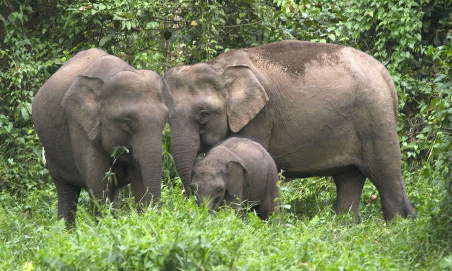 Bornean Pygmy elephant (Elephas maximus borneensis) family, with parents and calf in the Danum Valley Conservation Area, Sabah, North Borneo, Malaysia. The Bornean pygmy elephant is found only in the northeast tip of Borneo, in the Malaysian state of Sabah.