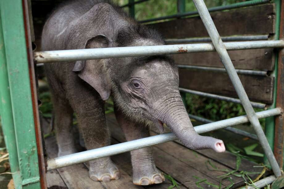 "Three-month-old baby pygmy elephant ""Joe\"" stands inside a temporary holding cage at Lok Kawi Wildlife Park in Kota Kinabalu in Malaysia\'s Sabah state on February 6, 2013. Photo: AFP, AFP/Getty Images / 2013 AFP"