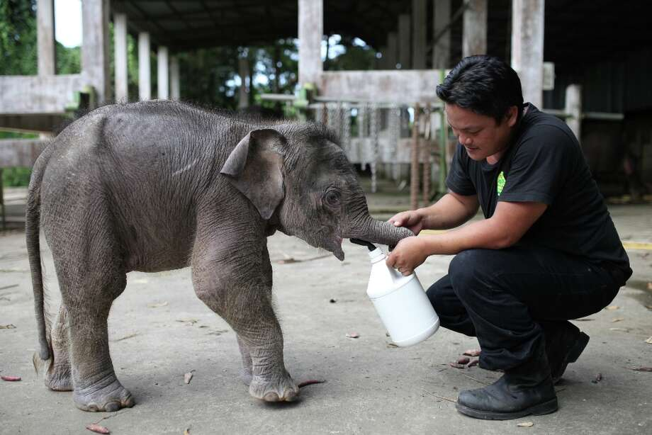 "A wildlife official attends to an orphaned three-month-old baby pygmy elephant ""Joe\"" at Lok Kawi Wildlife Park in Kota Kinabalu in Malaysia\'s Sabah state on February 6, 2013. Photo: AFP, AFP/Getty Images / 2013 AFP"