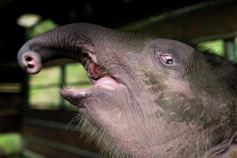 "Three-month-old baby pygmy elephant ""Joe\"" reacts inside a temporary holding cage at Lok Kawi Wildlife Park in Kota Kinabalu in Malaysia\'s Sabah state on February 6, 2013. Photo: AFP, AFP/Getty Images / 2013 AFP"