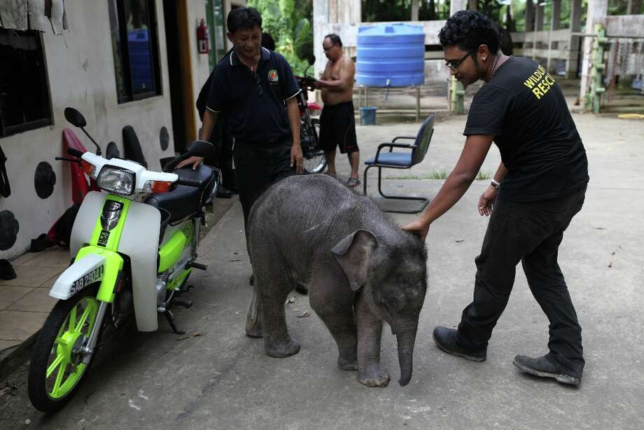 """Wildlife officials attend to an orphaned three-month-old baby pygmy elephant \""""Joe\"""" at Lok Kawi Wildlife Park in Kota Kinabalu in Malaysia\'s Sabah state on February 6, 2013. Photo: AFP, AFP/Getty Images / 2013 AFP"""
