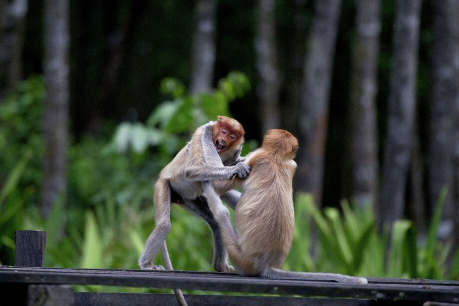 In this picture taken on November 6, 2012, two young proboscis monkeys play at a sanctuary in Malaysia\'s Sabah state, Borneo. Expanding palm oil plantations in Malaysian Borneo are rapidly eating into the habitat of the rare monkeys, which are only found on the southeast Asian island, causing its numbers to decline sharply in recent years. Photo: AFP, AFP/Getty Images / 2012 AFP