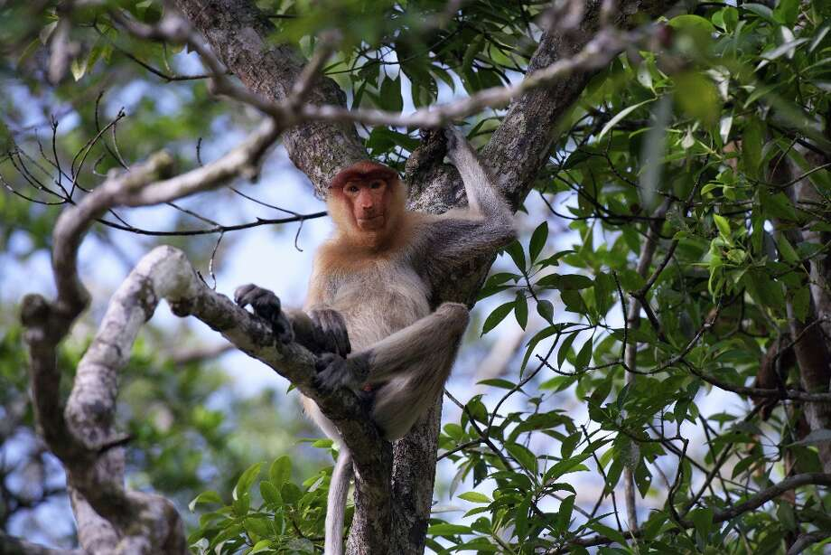 In this picture taken on November 6, 2012, a proboscis monkeys sits in a tree at a sanctuary in Malaysia\'s Sabah state, Borneo. Expanding palm oil plantations in Malaysian Borneo are rapidly eating into the habitat of the rare monkeys, which are only found on the southeast Asian island, causing its numbers to decline sharply in recent years. Photo: AFP, AFP/Getty Images / 2012 AFP