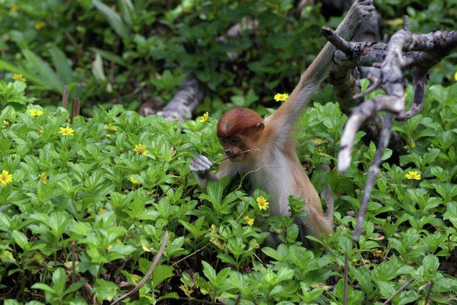 In this picture taken on November 6, 2012, a young proboscis monkey explores at a sanctuary in Malaysia\'s Sabah state, Borneo. Expanding palm oil plantations in Malaysian Borneo are rapidly eating into the habitat of the rare monkeys, which are only found on the southeast Asian island, causing its numbers to decline sharply in recent years. Photo: AFP, AFP/Getty Images / 2012 AFP