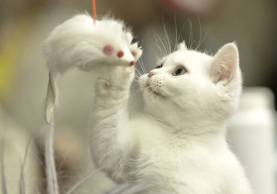 The best thing about Bucharest cat beauty shows?The tastefully hung mice decorations. Take it from this British shorthair. Photo: Vadim Ghirda, Associated Press