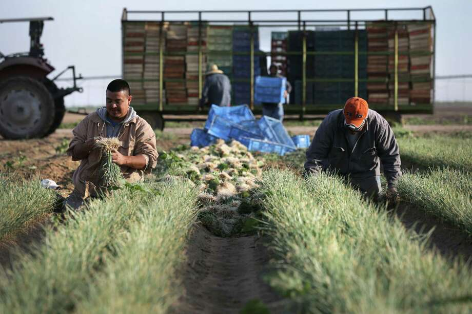 Immigrant workers Sergio Vera Jr. (left) and his father, Sergio Vera Sr., harvest onions near Carrizo Springs last week. There is a shortage of workers in the United States who will do this kind of labor. Photo: Photos By Bob Owen / San Antonio Express-News