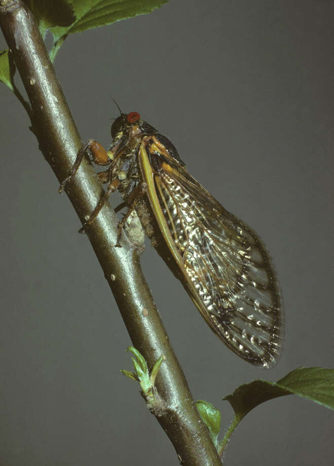 An adult cicada on the branch of an apple tree. Photo: Contributed Photo