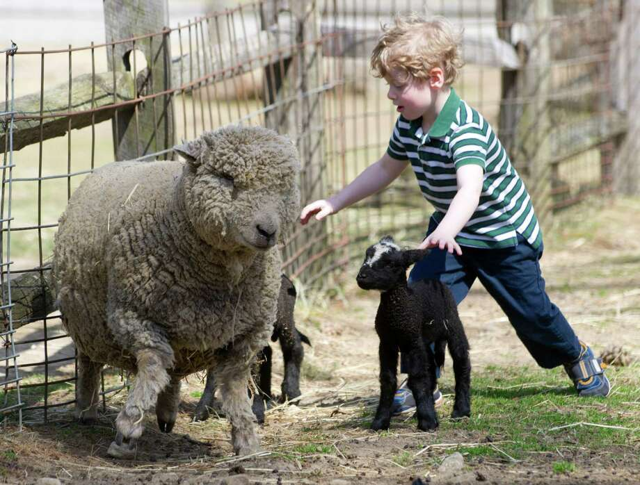 Take your kids to the Stamford Museum & Nature Center on Saturday or Sunday for Spring on the Farm. You can check out all the cute baby animals and see the SM&NC sheep get sheared. Find out more.  Photo: Lindsay Perry / Stamford Advocate