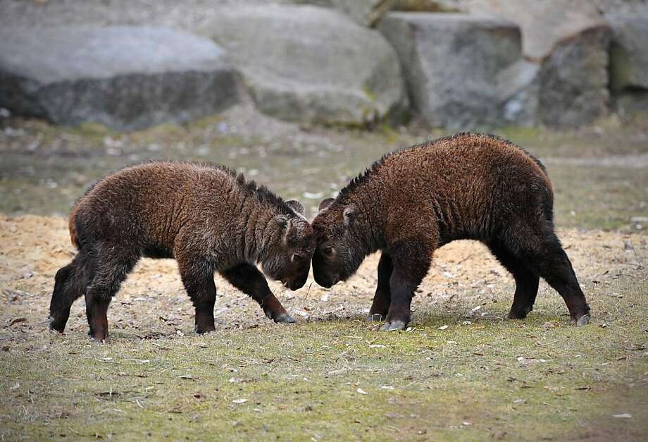It's a slow gnus day at the Berlin Zoo: Two baby Sichuan takins, also known as cattle chamois or gnu goats, spin their wheels while butting heads. Photo: Jan-philipp Strobel, AFP/Getty Images