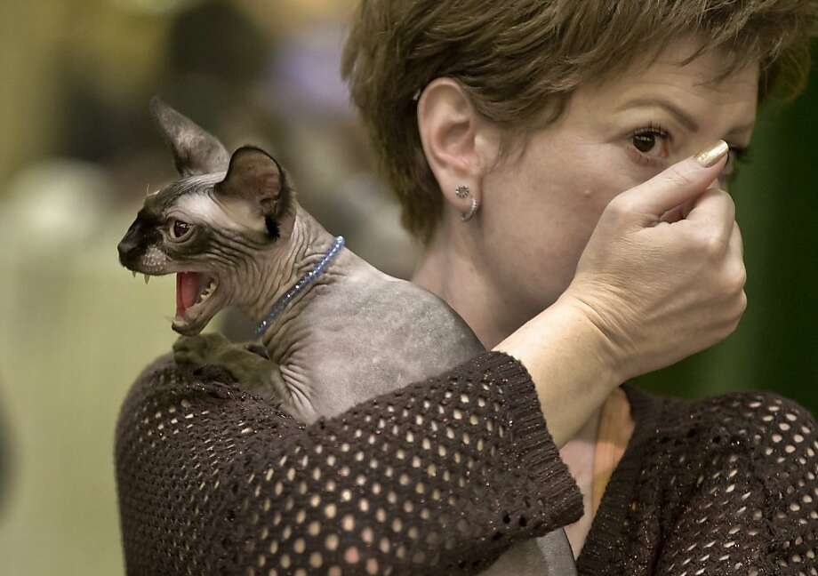 There goes the Miss Congeniality Award: A Canadian Sphynx briefly freaks out while waiting to be judged during an international feline beauty competition in Bucharest. Photo: Vadim Ghirda, Associated Press