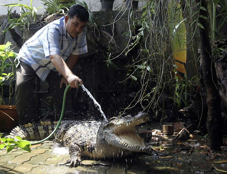 """His bite is definitely worse than his bark:Awirut Nathip hoses down his crocodile in front of his house in Pitsanuklok province, Thailand. He got the croc as a pet for his children 15 years ago, but kids grow up and move into an apartments with no-pet crocodile restrictions. So the reptile is now Nathip's guard animal, protecting his home from intruders and door-to-door evangelists. Its name is Thong, which means """"golf"""" in Thai. (We don't get it either.) Photo: Sakchai Lalit, Associated Press"""