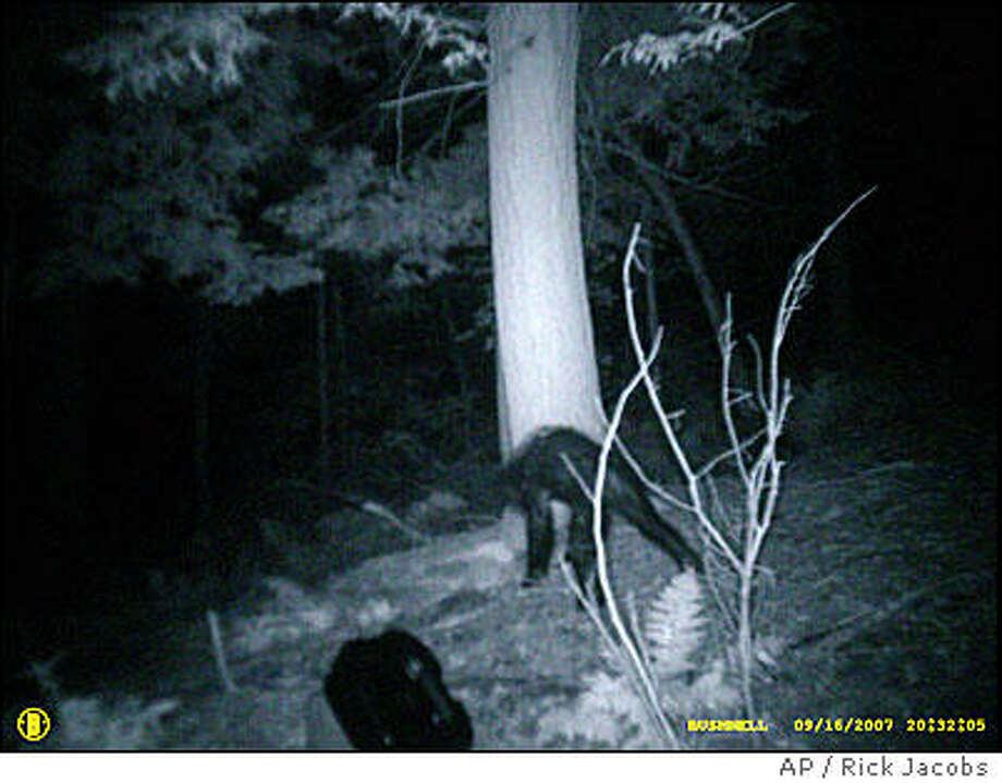 Hunter Rick Jacobs showed off this image taken in Pennsylvania's Allegheny National Forest in 2007. Was it Bigfoot or a bear with a bad skin infection? Photo: AP Photo/Rick Jacobs