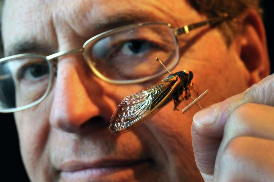 State entomologist Timothy McCabe holds a periodical cicadas at the New York State Museum on Tuesday April 9, 2013 in Albany, N.Y. (Michael P. Farrell/Times Union) Photo: Michael P. Farrell