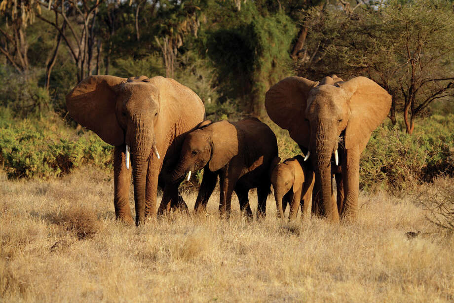The year-old KAZA conservation area  is expected to become home to 250,000 African elephants, the largest population on the continent.